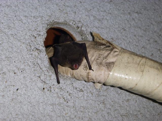 エアコン に住み着くコウモリ