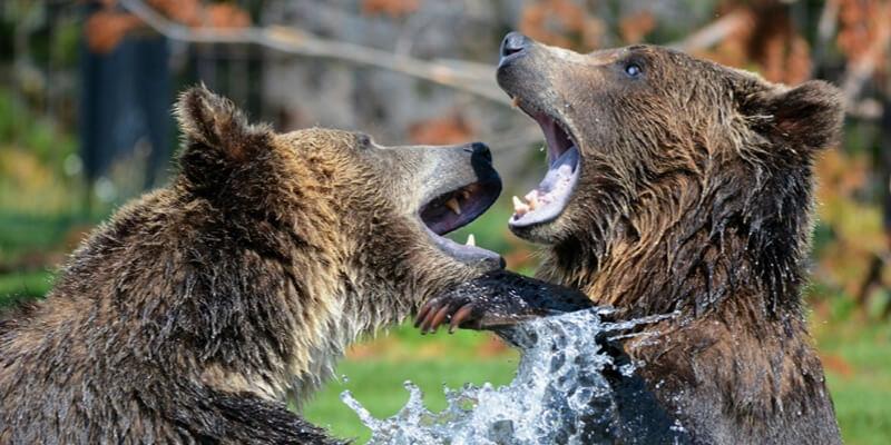 クマの戦い